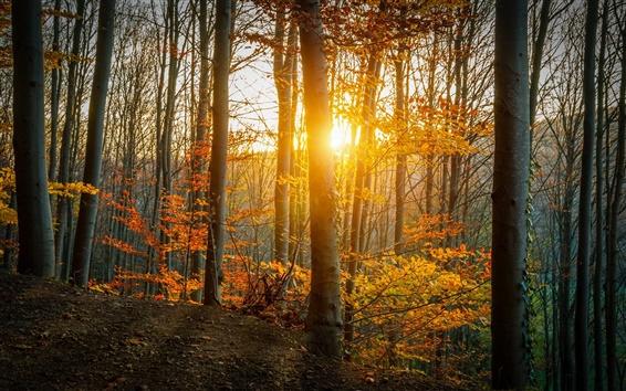 Papéis de Parede Outono, floresta, árvores, folhas, amarelo, luz solar