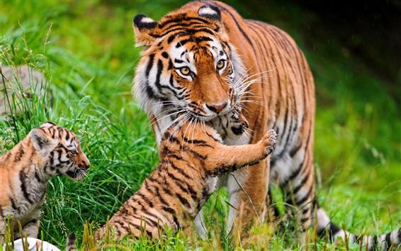 Papéis de Parede Big gato, tigre, família, grama