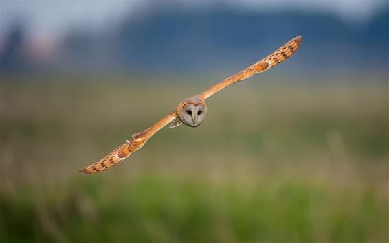 Fond d'écran Oiseau, vol de la chouette