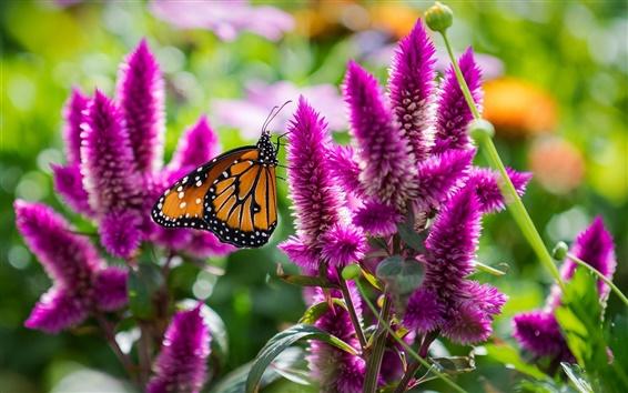 Fond d'écran Papillon avec des fleurs roses, macro insecte