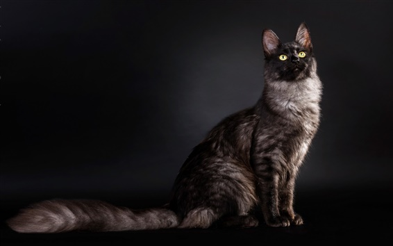 Papéis de Parede Vista lateral do gato, fundo preto