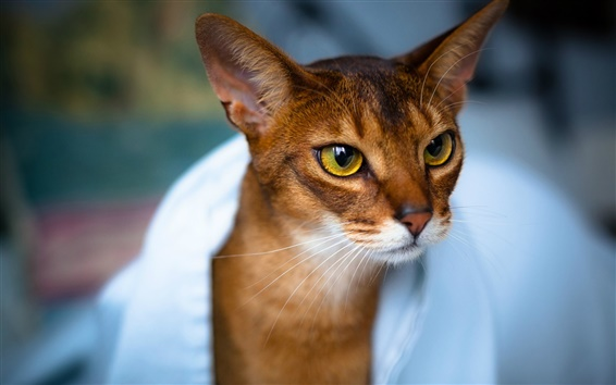 Обои Милый котенок, коричневый, лицо, глаза