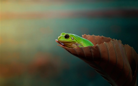 배경 화면 개구리, 잎, 나뭇잎