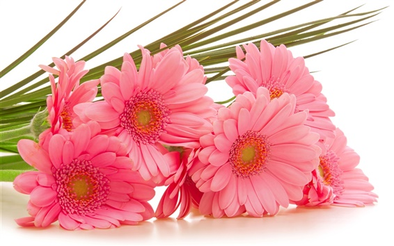 Wallpaper Gerbera pink flowers
