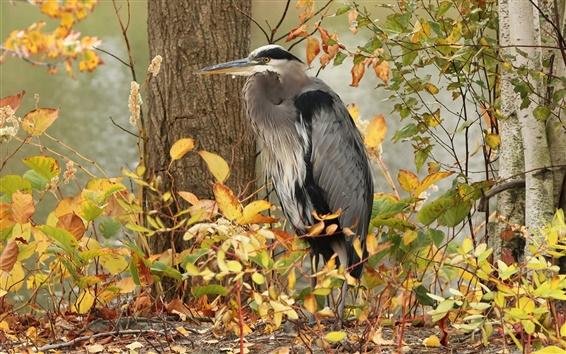 Wallpaper Gray heron, bird, trees, autumn