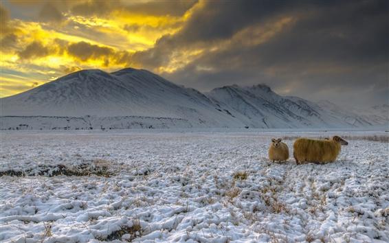 Papéis de Parede Islândia, montanhas, neve, cabras, montanhas, crepúsculo