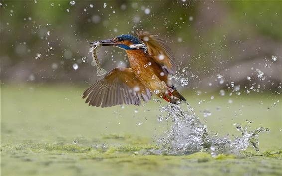 Fond d'écran Kingfisher capture du poisson, des projections d'eau