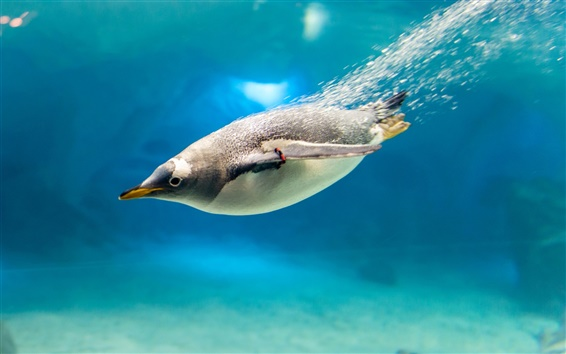 Wallpaper Penguin, bird, blue water, bubbles