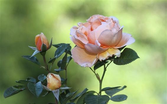 Wallpaper Pink rose flowers, green bokeh