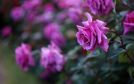 Fond d'écran Rose fleurs, pétales, flou