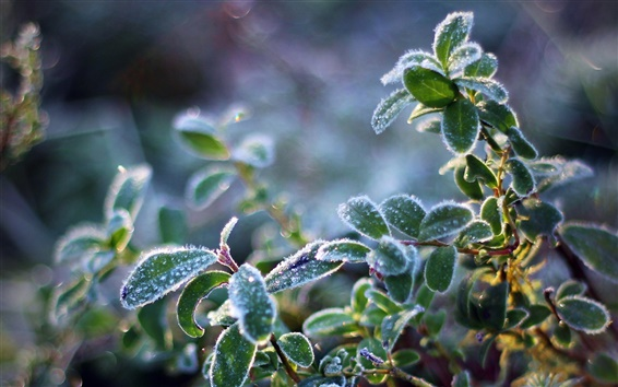 Wallpaper Plant leaves, frost, cold, crystals