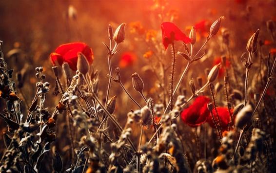 壁紙 レッド花、ボケ、日光