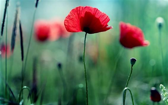 Wallpaper Red flowers, poppies, green bokeh