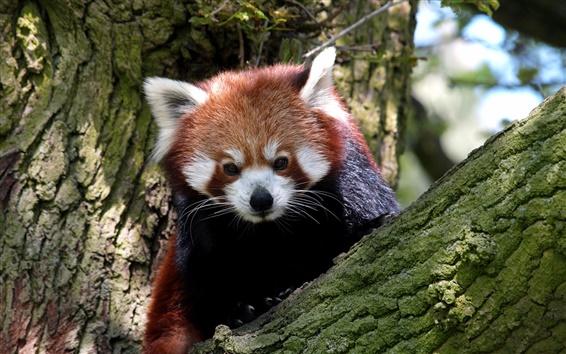 Wallpaper Red panda in the tree