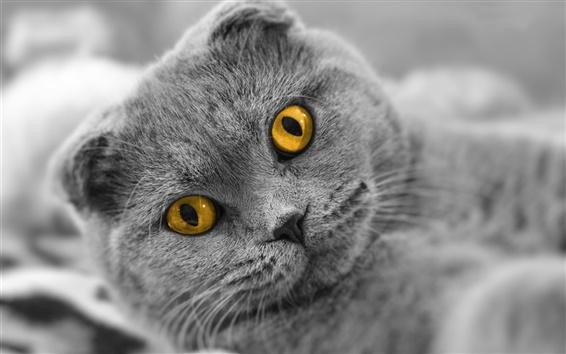 Обои Шотландская кошка раза, желтые глаза
