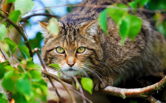 Papéis de Parede Gato selvagem escocês, floresta