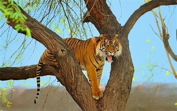 Fond d'écran Tiger, prédateur, arbre, de Sumatra