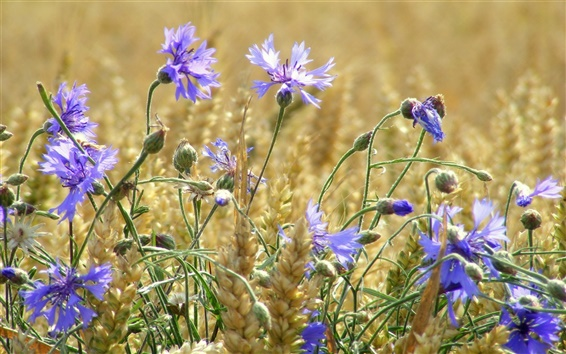 Обои Пшеничное поле, синие цветы, васильки, лето