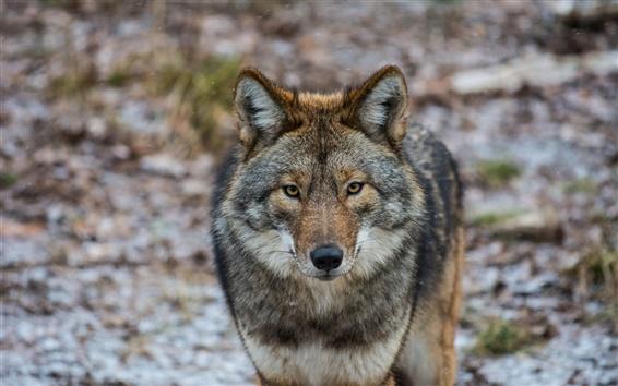 Обои Животные крупным планом, койот