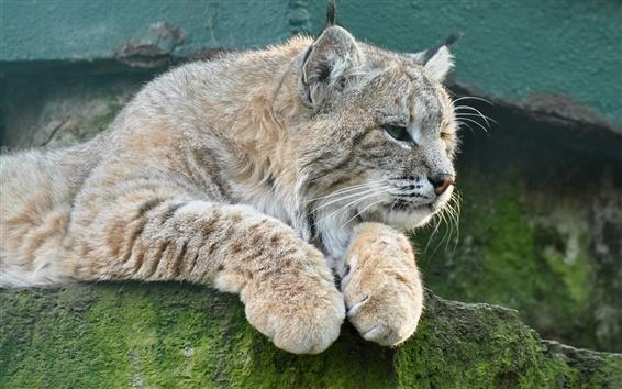 Обои Животные крупным планом, рысь, кошка, камень