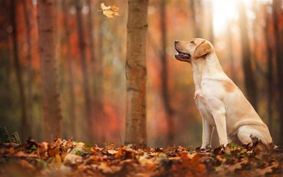 Обои Осень, лес, листья, собака