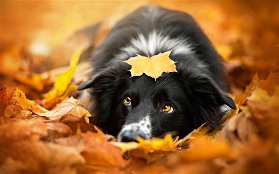 Wallpaper Black dog, autumn, red leaves