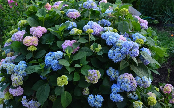 Papéis de Parede Flores roxas azuis, verão, hortênsia