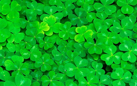 Обои Клевер, зеленые листья