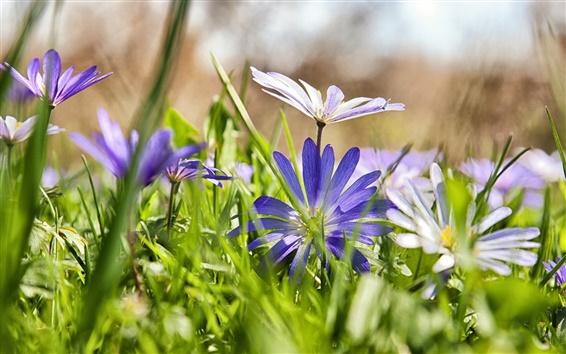 Papéis de Parede Grama, flores azuis, camomila, borrando