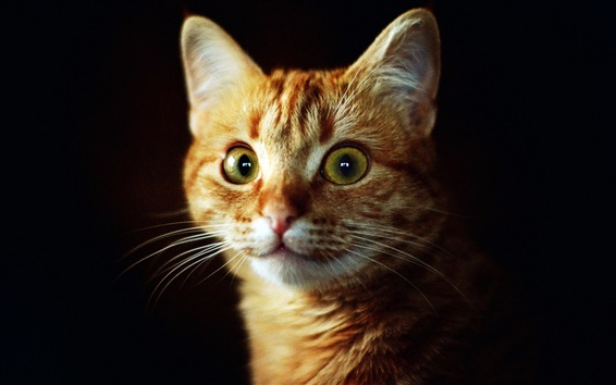 Papéis de Parede Os olhos verdes de gato, rosto, fundo preto