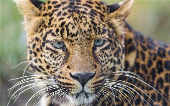 Wallpaper Leopard, wild cat, whiskers, eyes, portrait