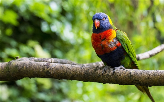 Wallpaper Multi lorikeet, bird, parrot, colorful, branch, tree