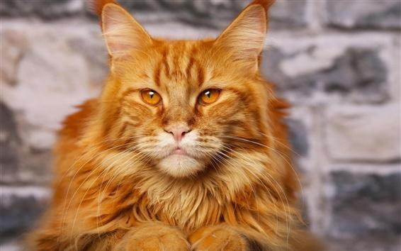 Обои Оранжевый милый кот крупным планом, глаза, уши, усы