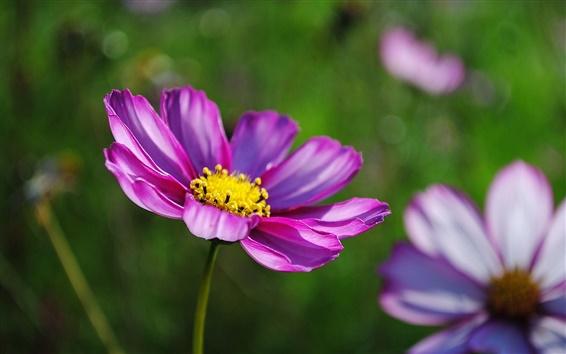 Обои Розовый космос цветок