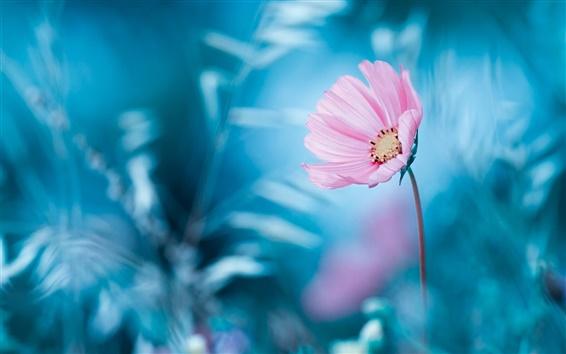 Wallpaper Pink flower, blue background, bokeh