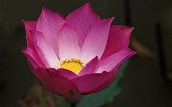 Wallpaper Pink lotus flower macro, blur background