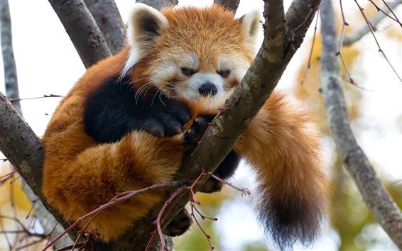 Обои Красная панда, дерево, ветки