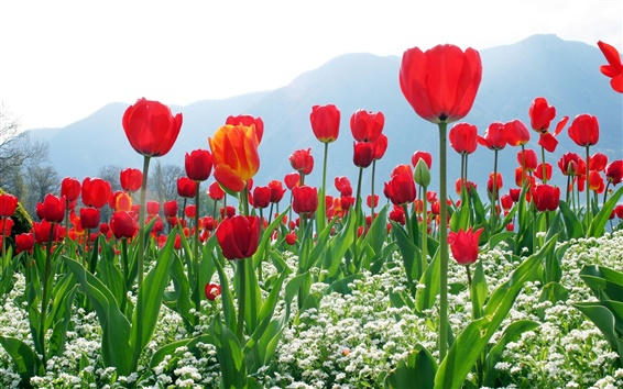 Wallpaper Red tulips, flowers, mountains