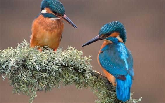 Fondos de pantalla Dos pájaros, martín pescador, rama, musgo