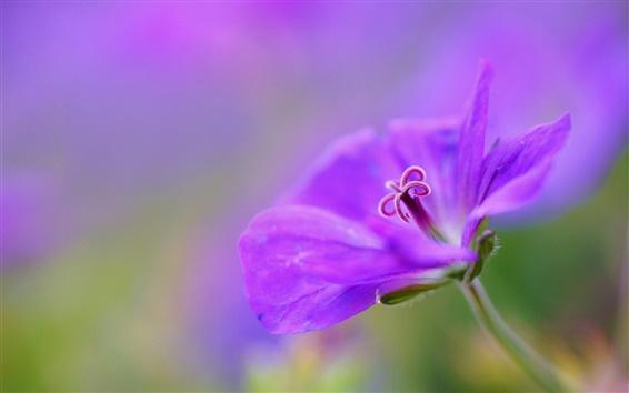 Обои Фиолетовый, цветок, лепестки, макро, боке