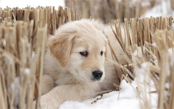Papéis de Parede Cão branco na neve do inverno