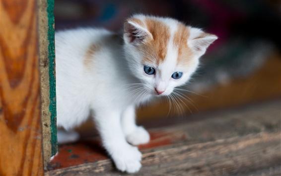 Papéis de Parede Gatinho branco, olhos azuis, olhar