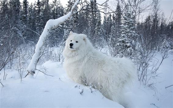 Wallpaper White samoyed dog, snow, trees