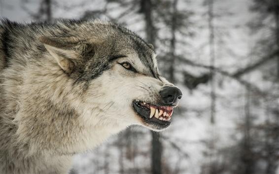 Papéis de Parede Wolf, predador, inverno, árvores