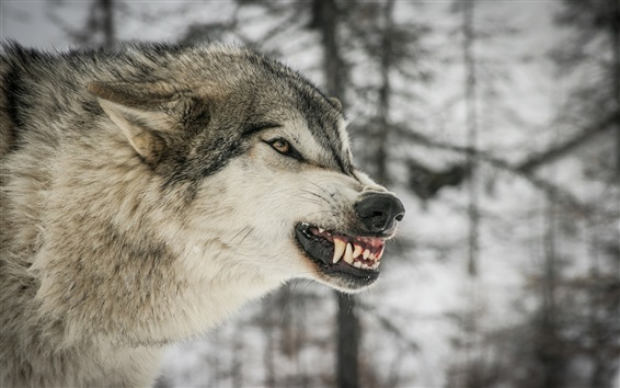 Wallpaper Wolf, predator, winter, trees