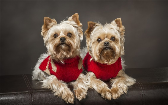Wallpaper Yorkshire Terrier, dog, twins