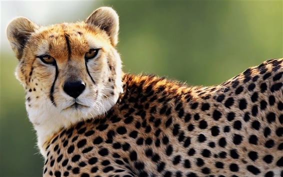 Wallpaper Cheetah, spots, eyes, predator