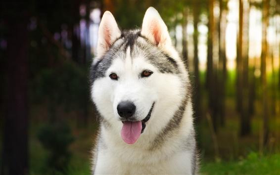 Wallpaper Husky dog close-up, sunshine