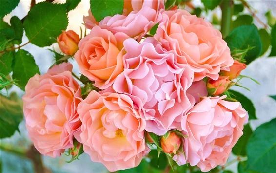 Papéis de Parede Rosa rosa flores, pétalas, brotos