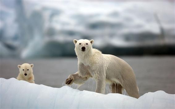 Обои Белые медведи, Арктика, снег